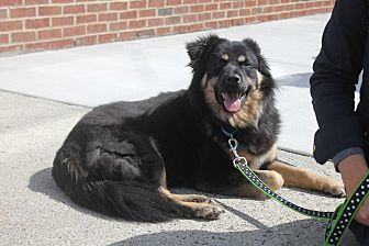 English Shepherd/Shepherd (Unknown Type) Mix Dog for adoption in Bedford Hills, New York - Curry