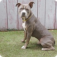 Pit Bull Terrier Mix Dog for adoption in Inverness, Florida - Levi