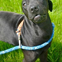 Labrador Retriever Mix Dog for adoption in Coldwater, Michigan - Pixie