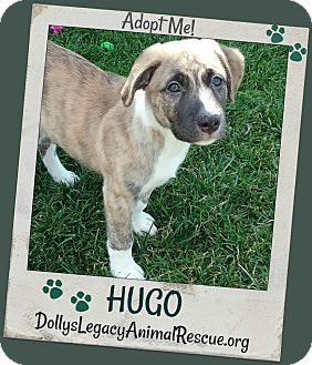Anatolian Shepherd/Mixed Breed (Medium) Mix Puppy for adoption in Lincoln, Nebraska - HUGO