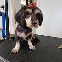 Schnauzer (Standard)/Poodle (Standard) Mix Dog for adoption in Jerseyville, Illinois - Mitzi