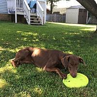 Adopt A Pet :: Desiree - Arlington, VA