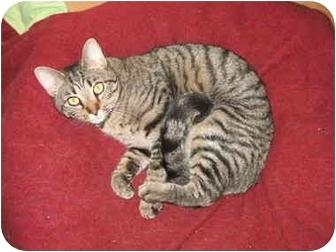 Domestic Shorthair Cat for adoption in Cincinnati, Ohio - Goober kitten