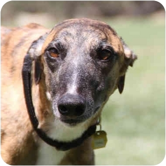 Greyhound Dog for adoption in Santa Rosa, California - Donald