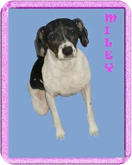 Jack Russell Terrier/Terrier (Unknown Type, Small) Mix Dog for adoption in North Palm Beach, Florida - Miley