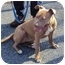 Photo 1 - American Staffordshire Terrier Dog for adoption in West Warwick, Rhode Island - Emily
