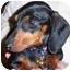 Photo 3 - Dachshund Dog for adoption in Wake Forest, North Carolina - Diamond