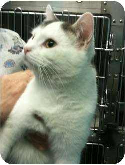 Domestic Shorthair Cat for adoption in Plymouth, Massachusetts - Ziggy