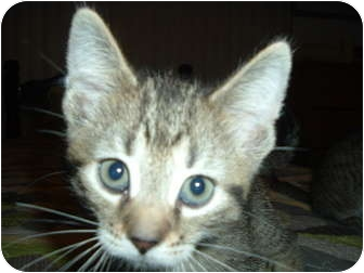 Domestic Mediumhair Kitten for adoption in Griffith, Indiana - GUNNER