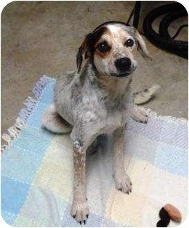 Boxer/Australian Shepherd Mix Dog for adoption in Irvington, Kentucky - Bandit