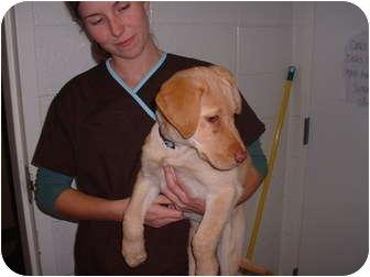 Labrador Retriever Dog for adoption in Sterling, Kansas - Goldie