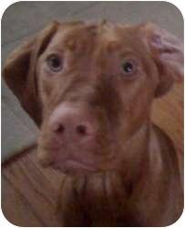 Vizsla Dog for adoption in Palatine, Illinois - Roscoe