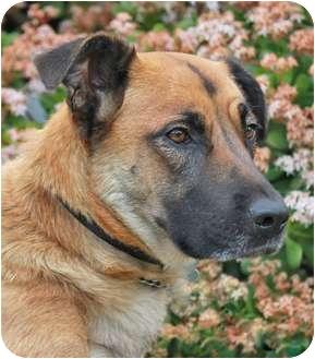 German Shepherd Dog/Labrador Retriever Mix Dog for adoption in Los Angeles, California - Teresa von Thuringen