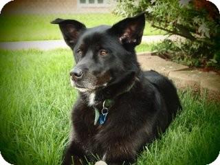 Labrador Retriever Mix Dog for adoption in Saint Clair Shores, Michigan - Callie