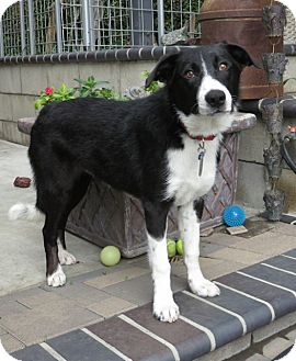 Border Collie Puppy for adoption in Phelan, California - Dundee