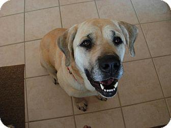 Labrador Retriever Mix Dog for adoption in Northville, Michigan - Zume
