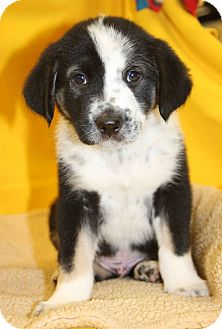 Great Pyrenees Mix Puppy for adoption in Charlotte, North Carolina - Bradley (FIFA Litter)