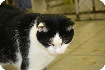 Domestic Shorthair Cat for adoption in East Smithfield, Pennsylvania - Summer