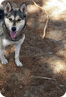 Siberian Husky/Australian Shepherd Mix Dog for adoption in Apple valley, California - Winnie