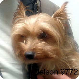 Yorkie, Yorkshire Terrier Dog for adoption in Greencastle, North Carolina - Nelson