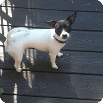 Jack Russell Terrier/Chihuahua Mix Dog for adoption in Braintree, Massachusetts - Margeaux
