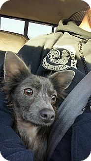 Chihuahua Mix Dog for adoption in Corpus Christi, Texas - Lycan