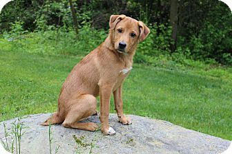 Labrador Retriever Mix Dog for adoption in New Oxford, Pennsylvania - Roko