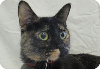 Domestic Shorthair Cat for adoption in Lloydminster, Alberta - Candy
