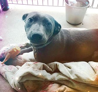 Weimaraner/Labrador Retriever Mix Dog for adoption in Odessa, Texas - Zoie