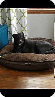 Labrador Retriever/Border Collie Mix Dog for adoption in Union Grove, Wisconsin - Shy