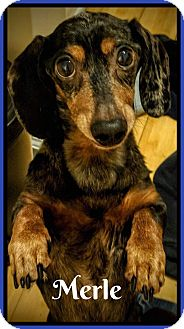 Dachshund Dog for adoption in Green Cove Springs, Florida - Merle