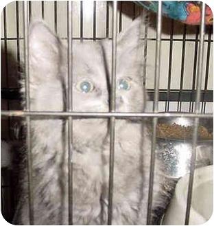 Russian Blue Kitten for adoption in Overland Park, Kansas - Rachel
