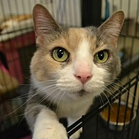 Calico Cat for adoption in Akron, Ohio - Abbey