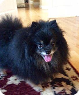 Pomeranian Dog for adoption in Woodinville, Washington - Finn
