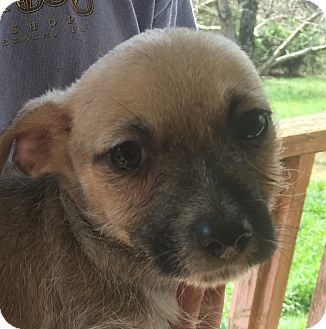 Cairn Terrier/Chihuahua Mix Puppy for adoption in Harmony, Glocester, Rhode Island - Thursday