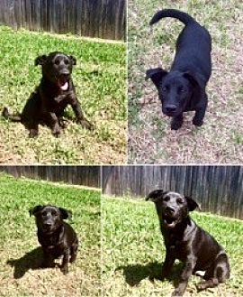 Labrador Retriever Mix Puppy for adoption in Austin, Texas - Mike T