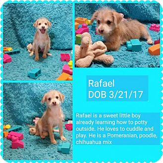 Chihuahua Mix Puppy for adoption in Phoenix, Arizona - Rafael
