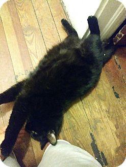 Burmese Cat for adoption in Ypsilanti, Michigan - Ivan