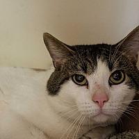 Domestic Shorthair Cat for adoption in Elyria, Ohio - Pepper