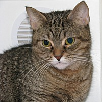 Adopt A Pet :: Tiger - New Kensington, PA