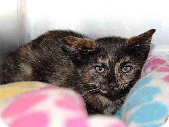 Domestic Mediumhair Kitten for adoption in Hampton Bays, New York - KILEY