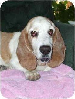 Basset Hound Dog for adoption in Phoenix, Arizona - Kohl