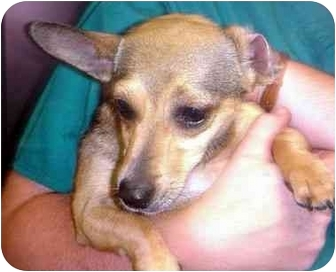 Chihuahua/Jack Russell Terrier Mix Dog for adoption in Manassas, Virginia - Clarissa