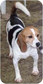 Beagle Dog for adoption in Portland, Ontario - Iris
