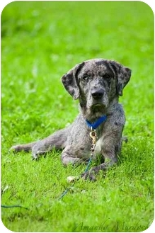Catahoula Leopard Dog Dog for adoption in Portsmouth, Rhode Island - Jolie