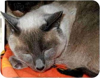 Siamese Cat for adoption in San Clemente, California - SMOKEY TWO