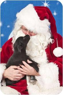 Labrador Retriever/Border Collie Mix Puppy for adoption in Howell, Michigan - Buddy - Adoption Pending