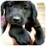 Photo 3 - Labrador Retriever Mix Puppy for adoption in Preston, Connecticut - Chip