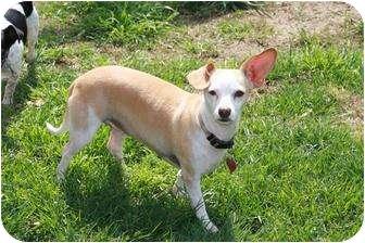 Chihuahua/Whippet Mix Dog for adoption in Edmonton, Alberta - Lulu