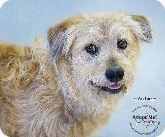 Briard/Basset Hound Mix Dog for adoption in Phoenix, Arizona - Archie